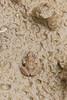 Cricket Frog (Minervarya sp.)<br /> Telangana, India
