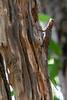 Giant Leaf-toed Gecko & Blanford's Agama<br /> Telangana, India