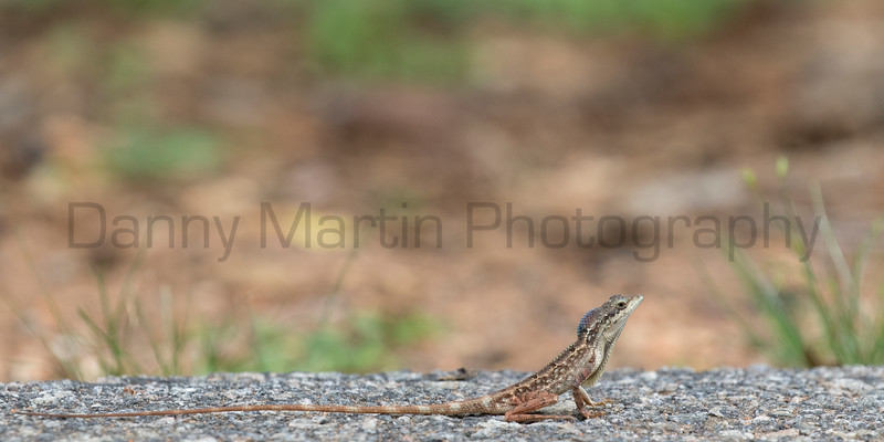 Spiny-headed Fan-throated Lizard, male territorial display<br /> Telangana, India