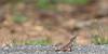 Spiny-headed Fan-throated Lizard, male territorial display<br /> Telangana, India