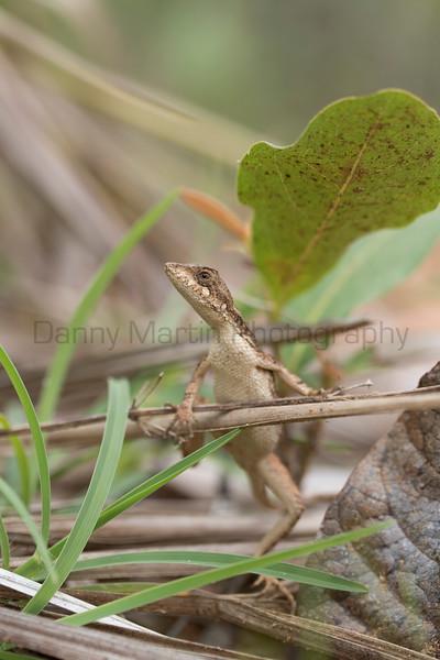 Spiny-headed Fan-throated Lizard, female<br /> Telangana, India