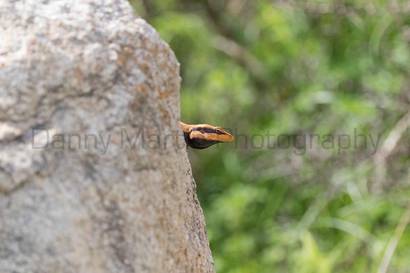 South Indian Rock Agama<br /> Karnataka, India