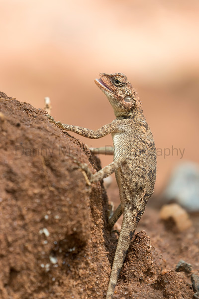 Blanford's Rock Agama (female)<br /> Telangana, India