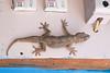 Giant South Indian Gecko<br /> Karnataka, India