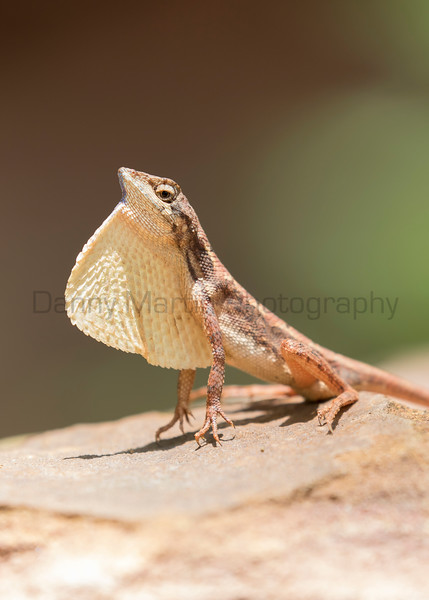 Spiny-headed Fan-throated Lizard, male<br /> Telangana, India