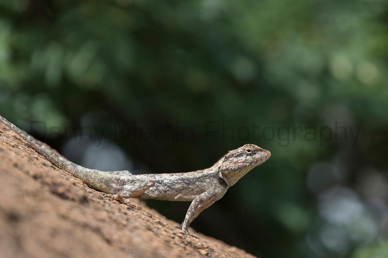 Indian Garden Lizard<br /> Karnataka, India