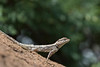 Indian Garden Lizard<br /> Karnataka, India