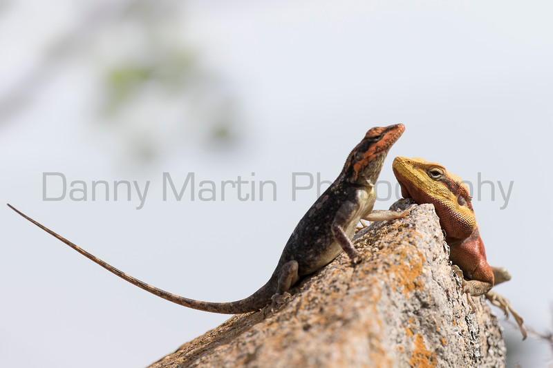South Indian Rock Agama<br /> Karnataka, India