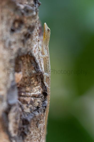 Coastal Day Gecko<br /> Kerala, India