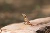 Spiny-headed Fan-throated Lizard, male<br /> Telangana, India