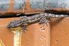 Gecko (Hemidactylus sp.)<br /> Karnataka, India