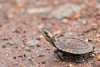 Indian Black Turtle hatchling<br /> Kerala, India