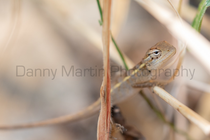 Indian Garden Lizard (hatchling)<br /> Kerala, India