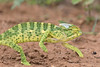 Indian Chameleon<br /> Telangana, India