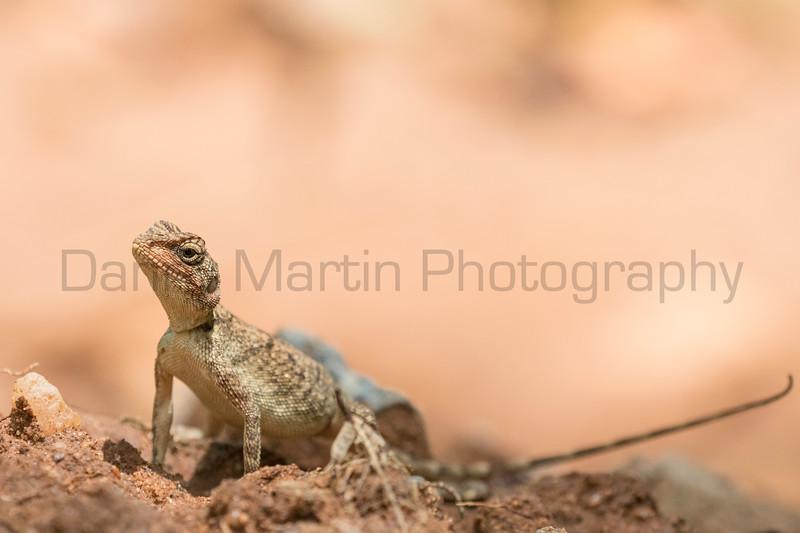 Blanford's Rock Agama (female)<br /> Telangana, India