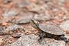Indian Black Turtle hatchling<br /> Kerala, India