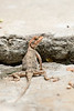 Rock Agama (female)<br /> Telangana, India