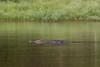 Mugger Crocodile<br /> Kabini River, Karnataka, India