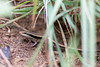 Common Keeled Skink<br /> Kerala, India