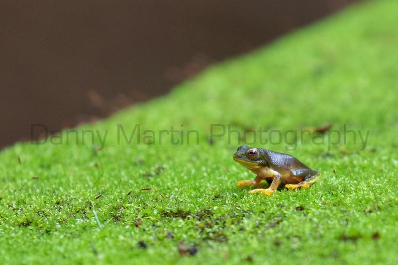 Jayaram's Bush Frog<br /> Tamil Nadu, India