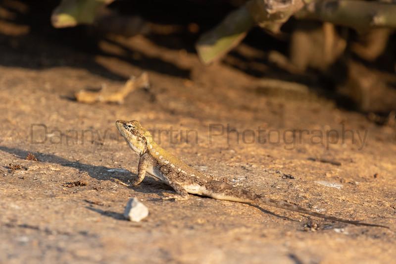South Indian Rock Agama (subadult male)<br /> Karnataka, India