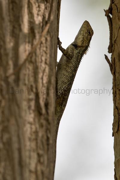 Indian Garden Lizard<br /> Telangana, India