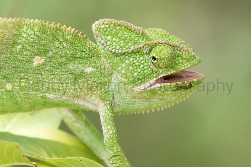 Indian Chameleon<br /> Telangana, India