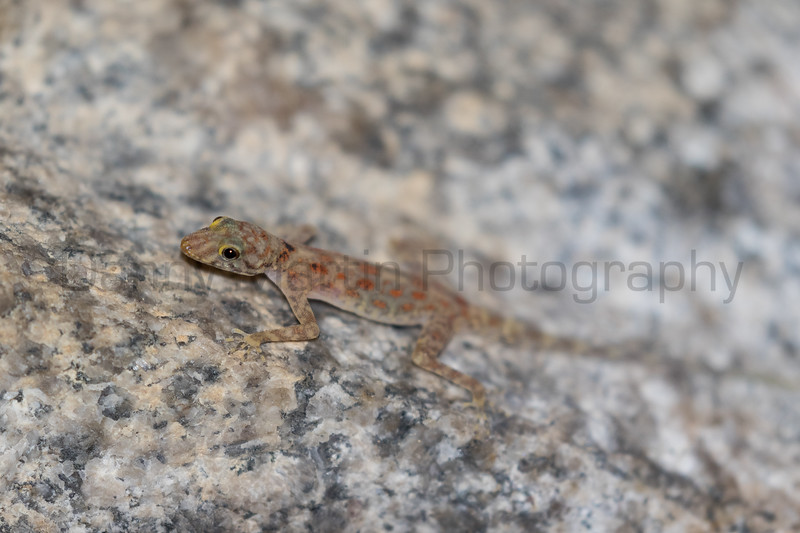 Adi's Day Gecko<br /> Karnataka, India