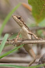 Spiny-headed Fan-throated Lizard, female<br /> Telangana, India