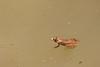 Common Skittering Frog<br /> Telangana, India