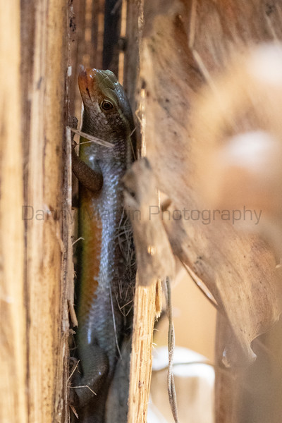 Common Keeled Skink foraging on a banana<br /> Kerala, India