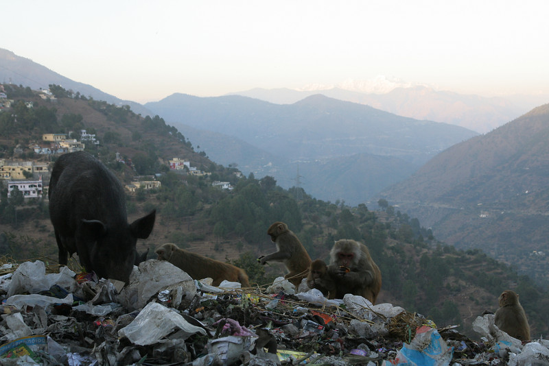 Monkeys and pigs have their way with the town dump in Chamba, India.