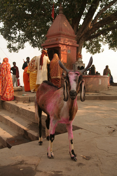 A pink goat painted for Puja (Hindu offerings) on the Ghats of Varanasi, India. In the background a small temple has devotees line up for a turn at worship.