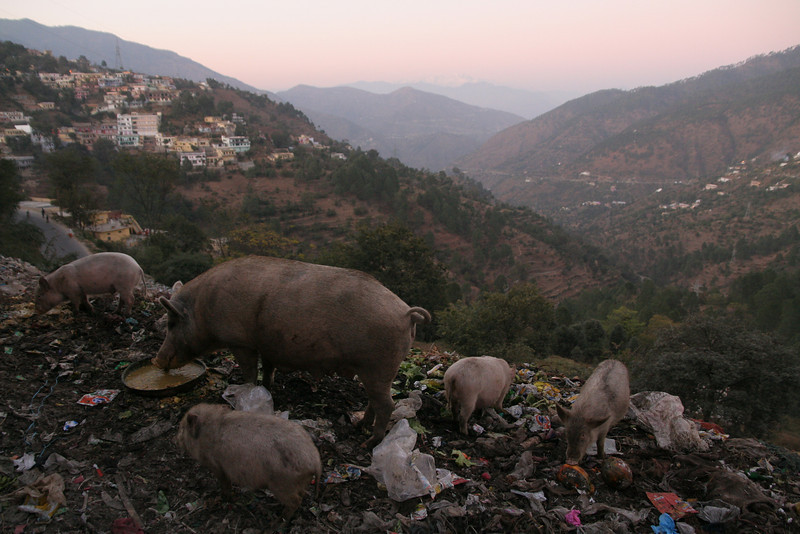 Pigs hanging out at the dump in downtown Chamba, India.  The Himalayas can barely be seen in the background.