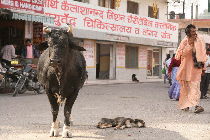 An enormous bull in downtown Lacksmanjewla, India, with a dog napping in its shade.  The cows are used for milk so it is often that someone will adopt them and keep them well fed.  Where on the other hand, the bulls have no owners and are effective at finding food and urban survival as the street dogs.