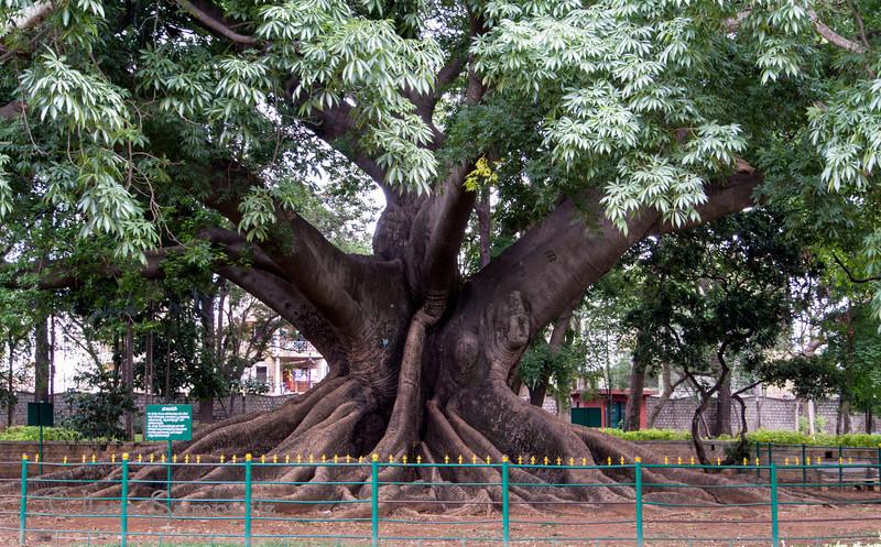 Tree in the Bangalore Botanical Gardens.