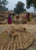 Women thrashing wheat in Ayer, Bihar, India.