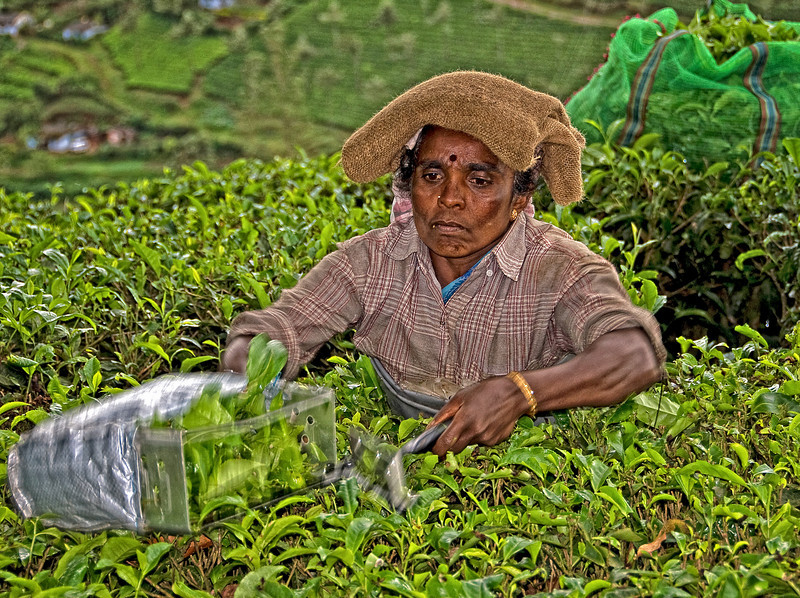 Tea Picker Kerala