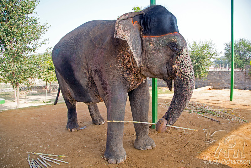 ELEfantastic ~ Our Asian Elephant to feed ~ Jaipur, India