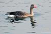 Greylag Goose in Lake Sagar
