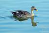 Spot-billed Duck in Lake Sagar
