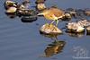 Pond Heron in Lake Sagar