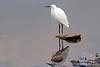Little Egret in Lake Sagar