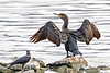 Great Cormorant drying it's wings
