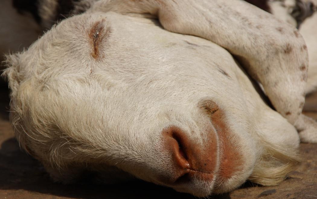 Goat | Jaipur, Rajasthan, India | Travel Photo