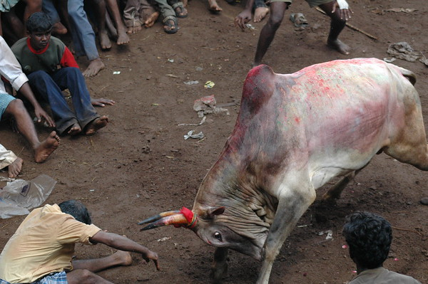 Jellicutt (Bull Taming)