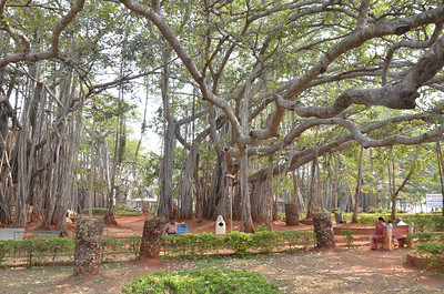 The Dodda Alada Mara or Doda Alada Mara, Big Banyan Tree