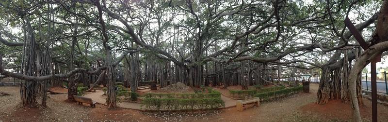 The Dodda Alada Mara or Doda Alada Mara, Big Banyan Tree