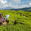 Indian woman harvests tea leaves at tea plantation at Munnar