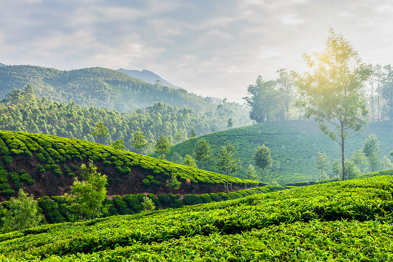 Green tea plantations in Munnar, Kerala, India